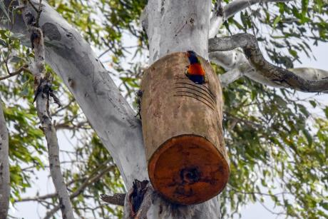 A rainbow lorikeet makes use of one of the recently installed nest boxes near North Pine Dam. Photo credit Kaitlin Evans - Verterra.