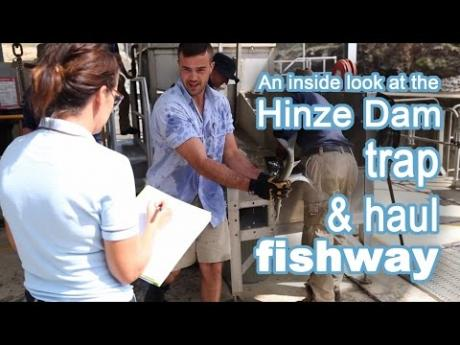 An inside look at the Hinze Dam trap and haul fishway