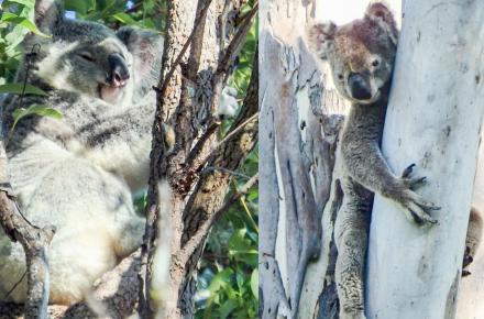 An unnamed healthy koala photographed at Joyner in May 2020 (R) Bernie the koala who was rescued in Byrnes Rd Nth in December 2019